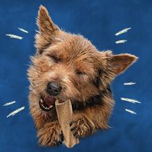 Small breed adult dog chewing on a Busy Bone Mini chewbone treat