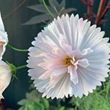 Cosmos are ridiculously easy to grow if sown directly or outdoors in early summer individual cells