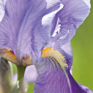 Iriswurzelstock