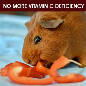 guinea vitamin C
