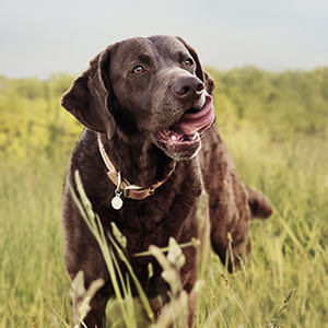 Dog licking his lips in a field of grass