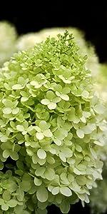 Amazon limelight hardy hydrangea paniculata live shrub hydrangea limelight hydrangea paniculata green flowers pink flowers rebloom live mightylinksfo