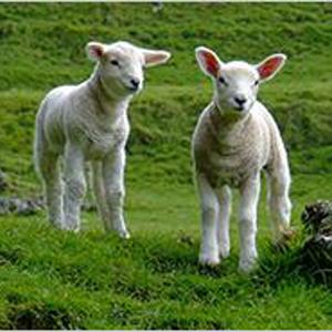 lana d'agnello