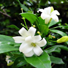 gardenia fertilizer
