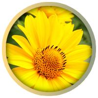 arnica montana flower