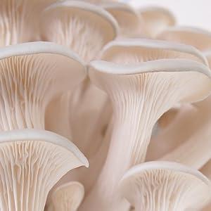 pret a pousser, pleurotes, champignons, kit a champignons, kit a pleurotes, biologique