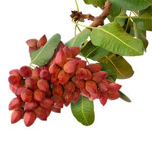 Pistachio fruit on branch