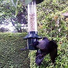 jackdaw failing to get bird seed