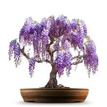 Glyzinienbonsaibaum-Samengeschenk stellte für Gartenarbeitanfänger und Kindergeschenke ein
