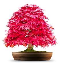 Japanisches Rotahornbonsaisbaum-Samengeschenk stellte für Geburtstag und Weihnachten ein