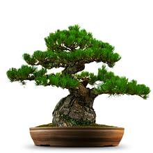 Japanischer Schwarzkieferbonsaibaum-Samengeschenksatz für Vatertag, Weihnachten, Geburtstag