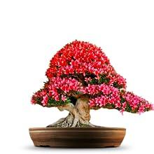 Judas-Baumkiefernbonsaibaum-Samengeschenk stellte für Vatertag, Männer, Kinder und Eltern ein