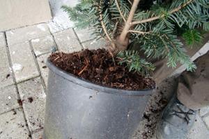 nordmanntanne im topf gewachsen weihnachtsbaum ideal zum einpflanzen 80 100cm garten. Black Bedroom Furniture Sets. Home Design Ideas