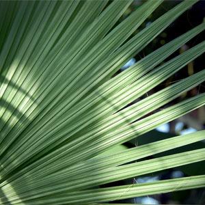 Palme, verdampfer