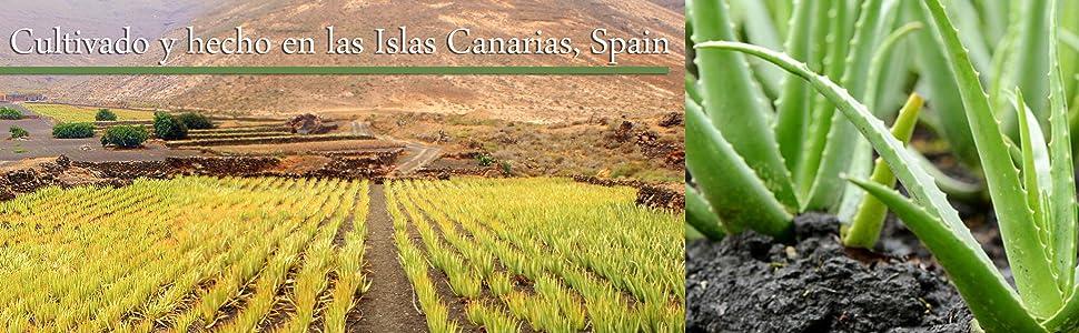 Aloe vera canarias , Aloe vera de canarias , Aloe vera Fuerteventura , Aloe vera islas
