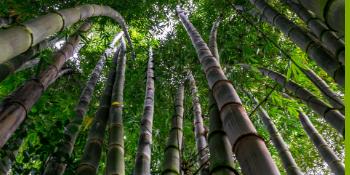 Bambú 100% MOSO. Cada cepillo de dientes ...
