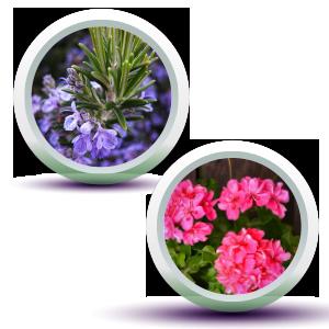 rosemary & geranium essential oil in fresh look face wash