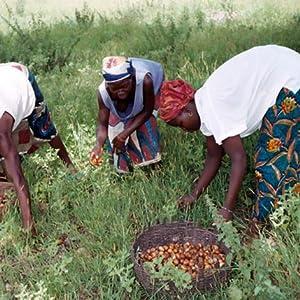 natures tattva shea butter farmers in africa