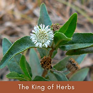 The King of Herbs