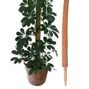 money plant climbing stick
