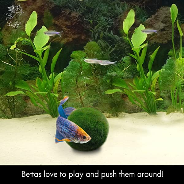 Luffy betta balls live round shaped marimo for Betta fish tanks amazon