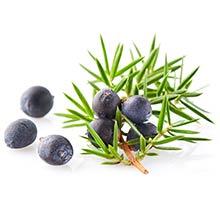 Several juniper berries, a skincare antioxidant, with juniper tree limb.