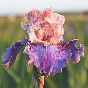 bearded iris bulb