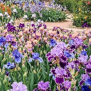 bearded iris mix