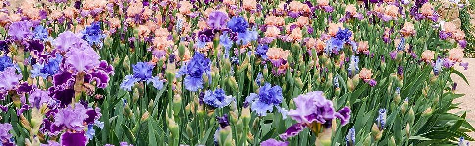 bearded iris mix field grown healthy drought tolerant