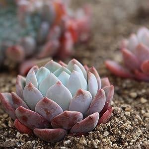 Succulent growing in organic coco coir soil