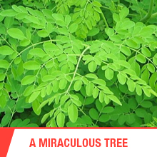 miracle tree, india, ceylon, medicine