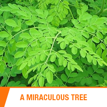 miracle tree, medicine, india, ceylon