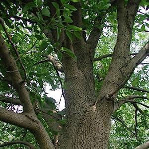 hardwood ash