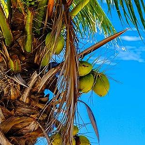 gorgeous coconut tree in the tropics
