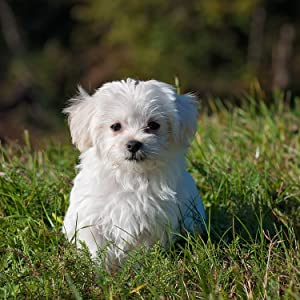 tiny little Maltese sitting in the grass
