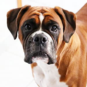a boxer puppy staring at the camera