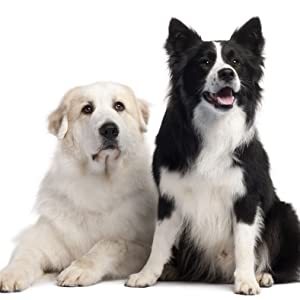two dogs staring at the camera one is a golden retriever one is a border collie