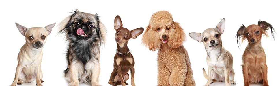 mixed group of young puppies and small breed dogs chihuahua mutt poodle lapdog