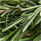 rosemary seeds for planting