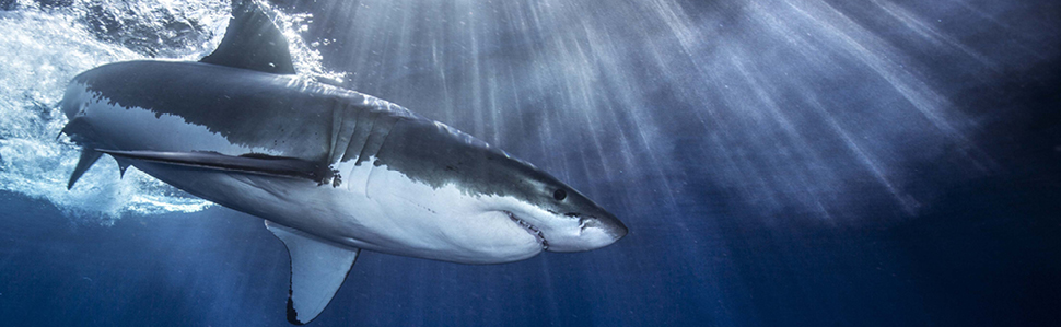 Sharks Never Stop Swimming In The Sea If They Did Would Sink