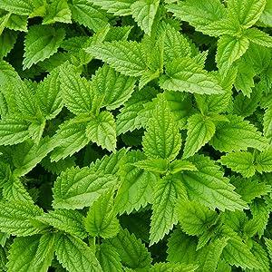 organic nettle leaves