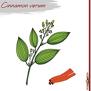 drawing of ceylon cinnamon plant and sticks