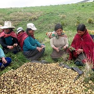 Maca Harvesting