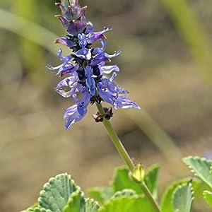 forskolin plant