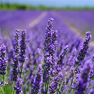 Important health benefits of lavender include: relieves stress, improve mood, lowers skin irritation
