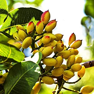 pistachio growing