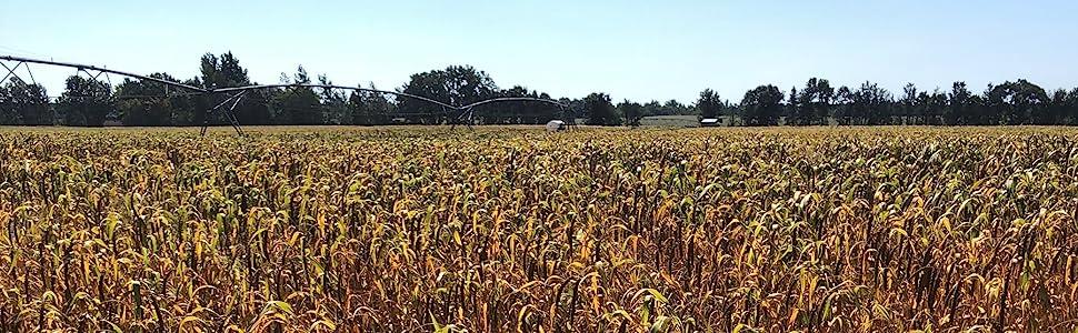 millet spray, birds food, healthy treat, birds millet, organic bird food, food for small birds