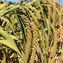 organic grain seed feeding feed eat birdseed golden non gmo treat parrot pet bird finch finches