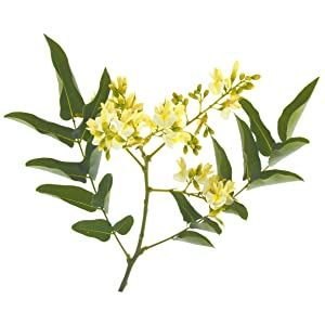 sophora japonica flower huai hua mi cooling effect lower blood pressure pain relief