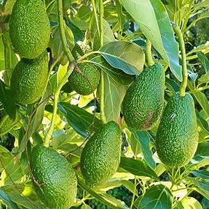 Chosen Foods 100% Pure Avocado Oil Persea americana